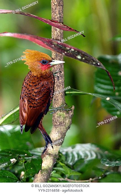 Chestnut-colored Woodpecker (Celeus castaneus) - Boca Tapada, San Carlos, Costa Rica