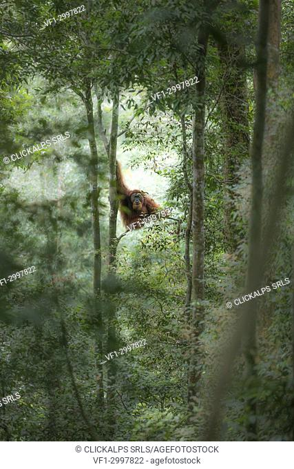 Sumatran orangutan high up on a tree in the primary forest in Gunung Leuser National Park, Northern Sumatra