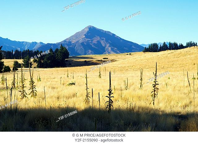 dry grassland near Wanaka, Otago, New Zealand
