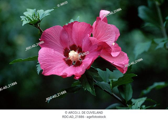 Rose-of-Sharon Hibiscus syriacus