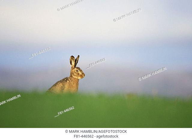 Brown Hare (Lepus capensis) resting in grass field. Scotland. April