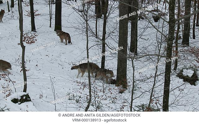 Gray wolf (Canis lupus) in winter forest