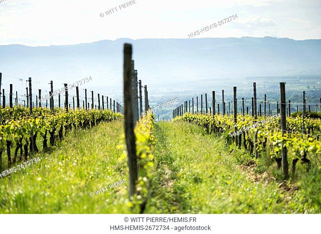 France, Ain, Pays de Gex region, Challex, domain of Mucelle, Frederic Pericard, winegrower in PGI status of coteaux alpins
