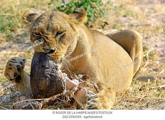 Masai lion or East African lion (Panthera leo nubica syn. Panthera leo massaica) feeding on an African bush elephant (Loxodonta africana) foot