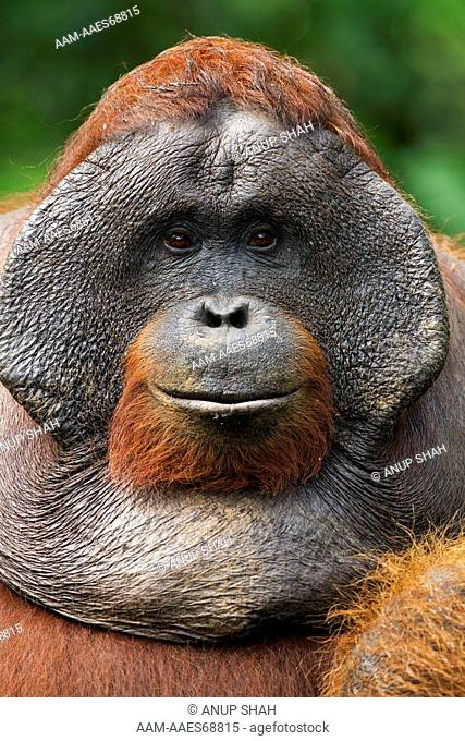 Bornean Orangutan mature male 'Doyok' head portrait (Pongo pygmaeus wurmbii). Pondok Tanggui, Tanjung Puting National Park, Central Kalimantan, Borneo