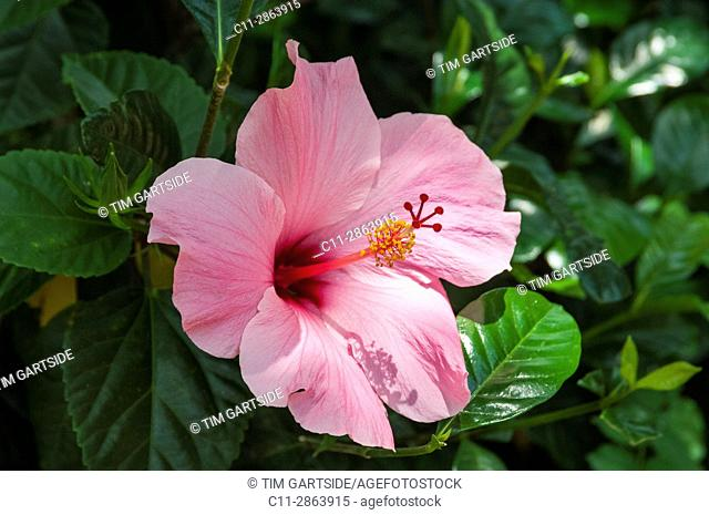 habiscus pink flower,florida,usa