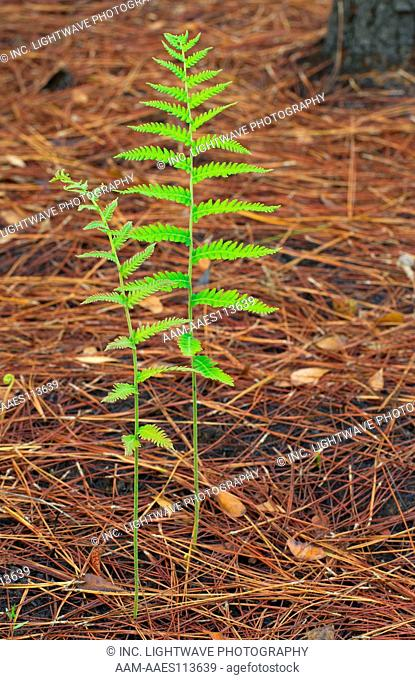 Bracken fern, Pteridium aquilinum, pine flatwoods, Little Manatee River State Park, Florida, USA