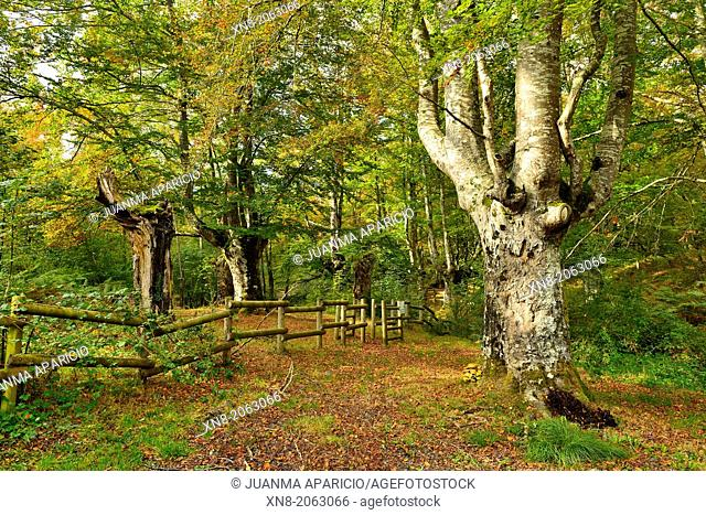 Beeches in Natural Park of Gorbea, located between the provinces of Alava and Vizcaya in the Basque Country, Spain, Europe