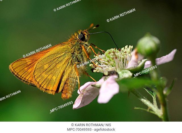 Large Skipper (Ochlodes venata) butterfly on Shrubby Blackberry (Rubus fructicosus), Engbertsdijksvenen, Overijssel, Netherlands