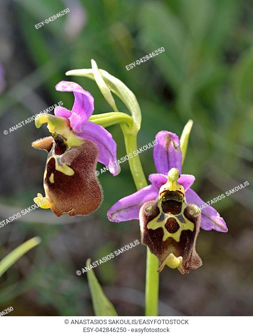 Ophrys episcopalis, Crete