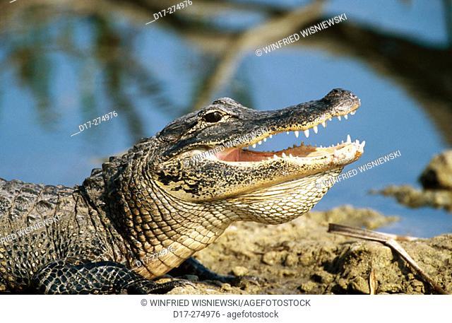 American Alligator (Alligator mississippiensis). Everglades National Park. Florida. USA