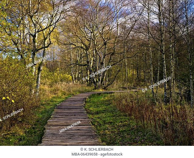 Germany, Bavaria, Rhön Biosphere Reserve, UNESCO biosphere reserve, Naturschutzgebiet Schwarzes Moor (nature reserve), autumn-colourful birches and wooden plank...
