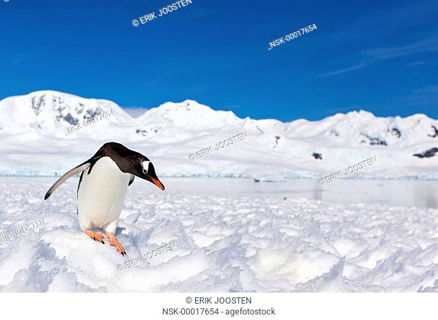Gentoo Pinguin (Pygoscelis papua) preparing for jump into the snow, Antarctica, Neko Harbour