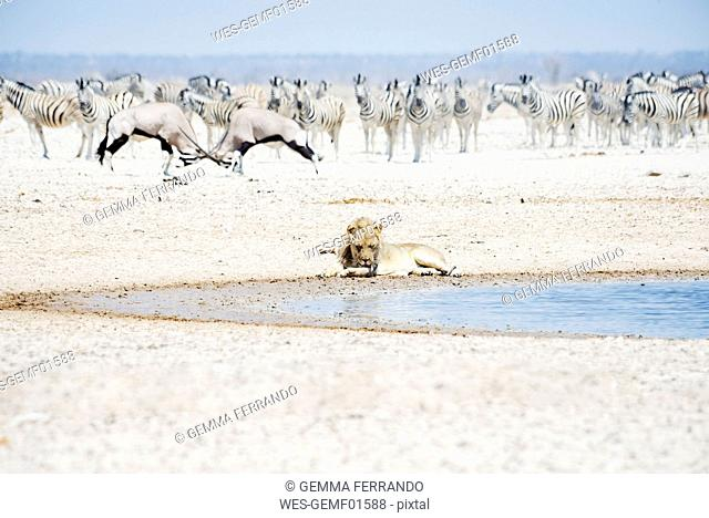 Namibia, Etosha National Park, lion resting at waterhole with herd of Zebras and Oryx in the background
