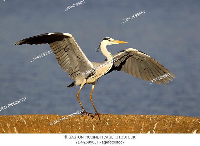 Grey Heron (Ardea cinerea), over a rainforced concrete structure, Kruger National Park, South Africa