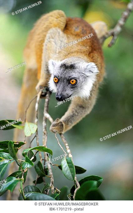 Black Lemur (Eulemur macaco), Madagascar, Africa