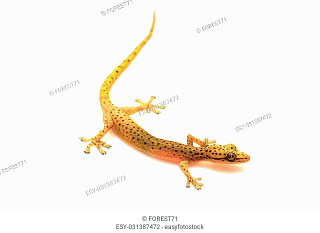 Gecko lizard from trpical forest isolated on white background, Hemiphyllodactylus sp