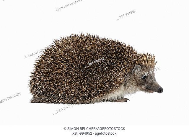 Hedgehog Erinaceus Europaeus