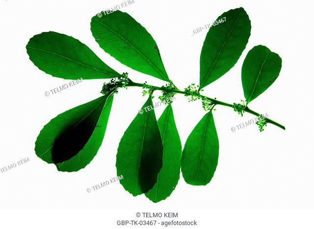 Leaf, plant, Brazil
