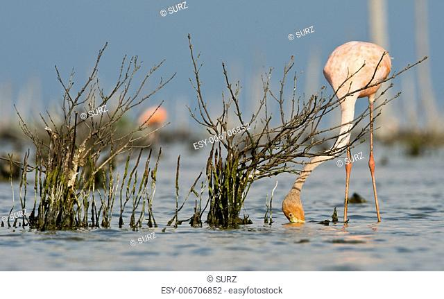 The pink Caribbean flamingo ( Phoenicopterus ruber ruber ) feeding on water. In blue twilight the pink flamingo feeding on a swamp