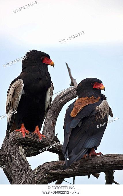 Africa, Botswana, Bateleur in central kalahari game reserve