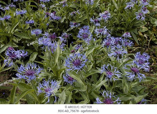 Perennial Cornflower Centaurea montana