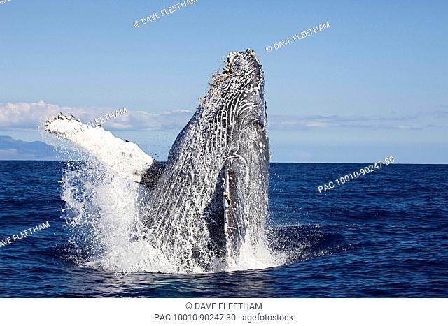 Hawaii, An adult Humpback Whale Megaptera Novaeangliae breaching in the begining of Whale Season