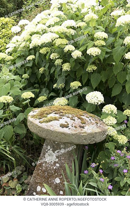 Lichen covered curved stone sculpture nestling under curved white blossom florets in the gardens of Frampton on Severn, the Cotswolds, England