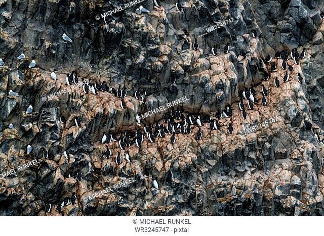 Giant seabird colony on the spectacular rock formation of columnar basalt, Skala Rubini (Rubini rock), Franz Josef Land archipelago, Arkhangelsk Oblast, Arctic