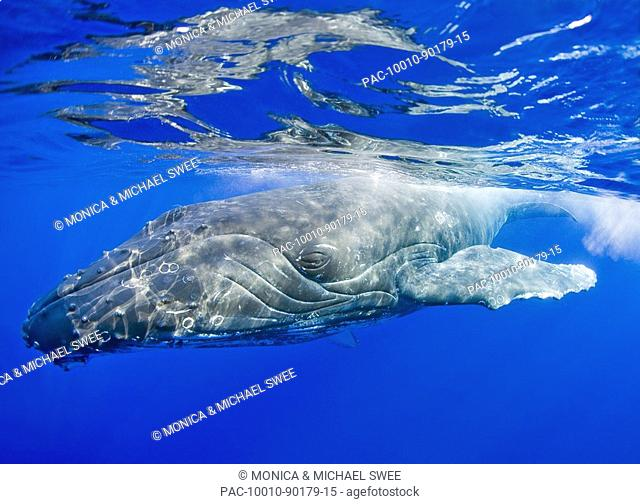 Hawaii, Maui, Close-up of Humpback whale near the oceans surface