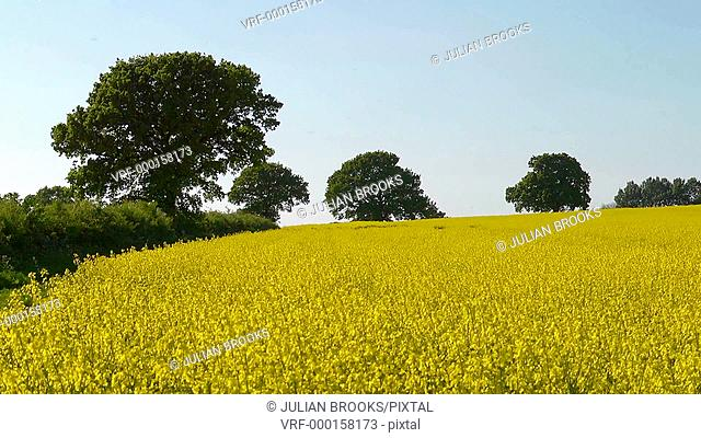 A field of yellow rape Brassica napus in Spring with sunshine and trees