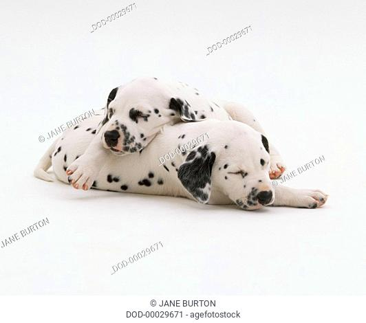 Two Dalmatian dogs, asleep, eyes closed, one resting on top of other