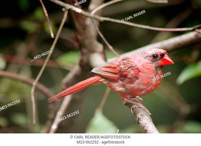 An immature male Northern Cardinal (Cardinalis cardinalis) grows into his new colors, Pennsylvania, USA