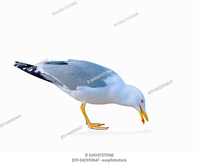sea gull standing on his feet. seagull . Isolated over white. a seagull picks up food from the ground