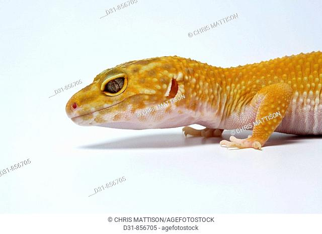 Leopard Gecko, Eublepharis macularius, Central Asia