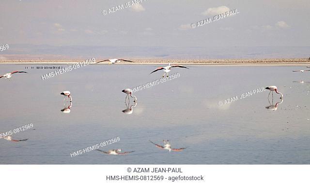 Chile, Antofagasta region, San Pedro de Atacama, Atacama salar, flamingos in the laguna Chaxca