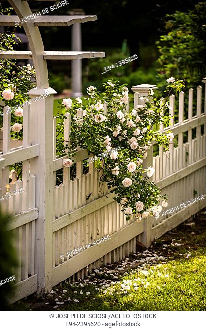 A white picket fence and gate with a climbing white rose in a garden.Georgia USA