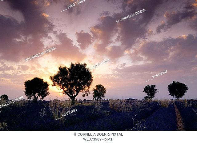 Walnut trees in Lavender field at sunset, (Lavandula), Plateau de Valensole, Puimoisson, Provence, France