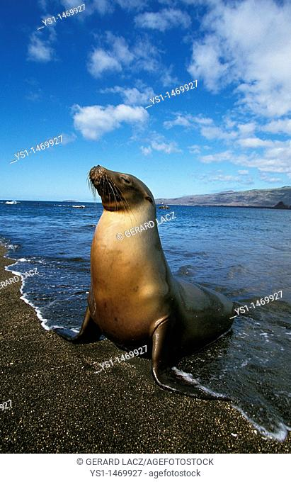 Galapagos Fur Seal, arctocephalus galapagoensis, Adult standing on Beach, Galapagos Islands