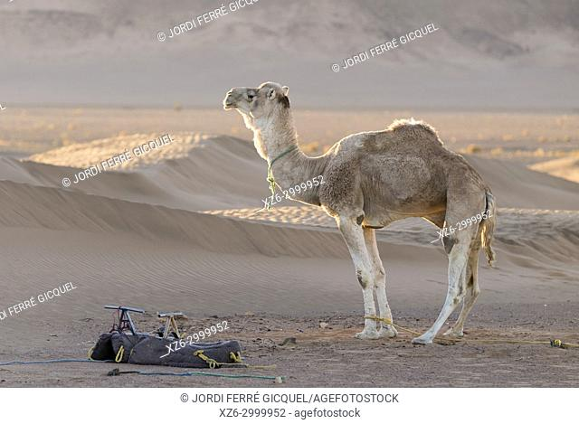 A dromedary at sunrise, Zagora desert, Morocco, Africa