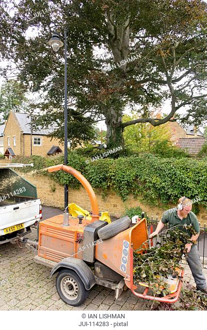 Arborist chipping copper beech tree branches through wood chipper