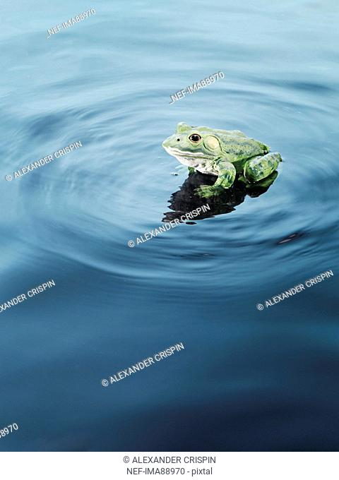 Plastic frog on water, high angle view