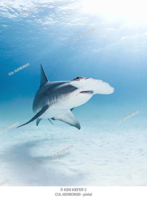 Great Hammerhead shark, underwater view