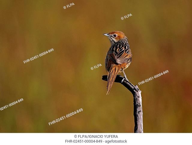Cape Grassbird Sphenoeacus afer adult, perched on twig, Cape of Good Hope, Western Cape Province, South Africa, September