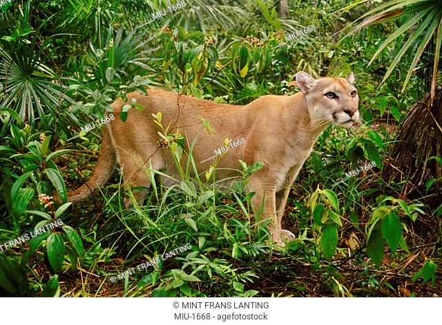 A Cougar, Puma concolor, a male animal in the rainforest of Belize
