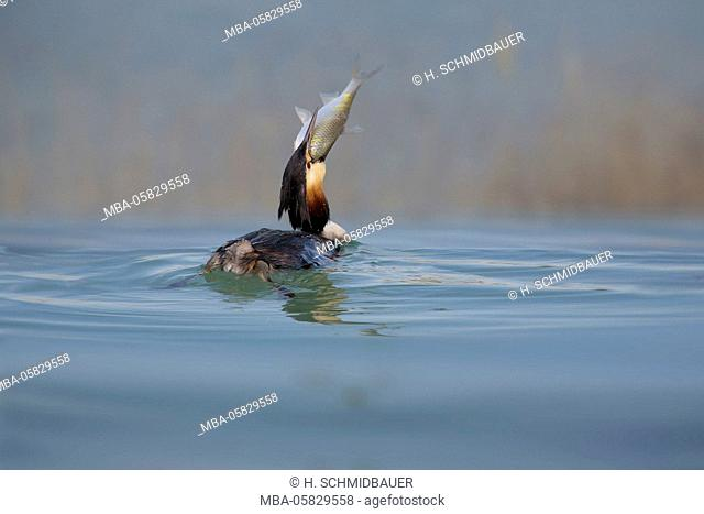 great crested grebe, Podiceps cristatus, with fish in the beak