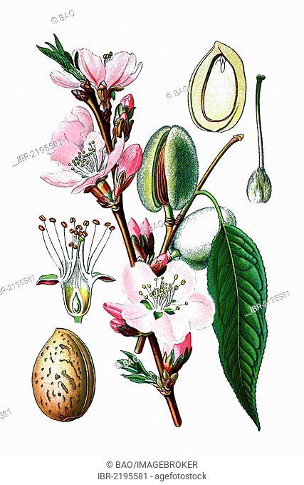Almond tree (Prunus dulcis), medicinal plant, historical chromolithography, 1870