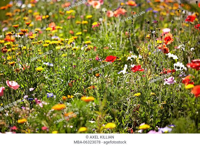 Many colorful flowers in a meadow in summer