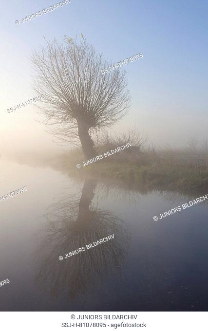 White Willow (Salix alba). Willow in morning mist, Lower Saxony, Germany