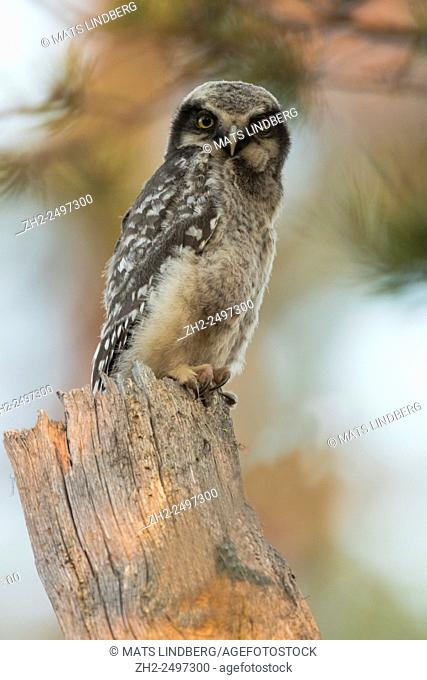 juvenile Northern Hawk-Owl, Surnia ulula, sitting on an old tree trunk, Gällivare, Swedish Lapland, Sweden